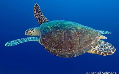Szudán teknős