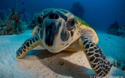 Vörös Tenger teknős