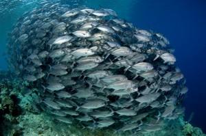 Malajzia, Sipadan: Barracuda point