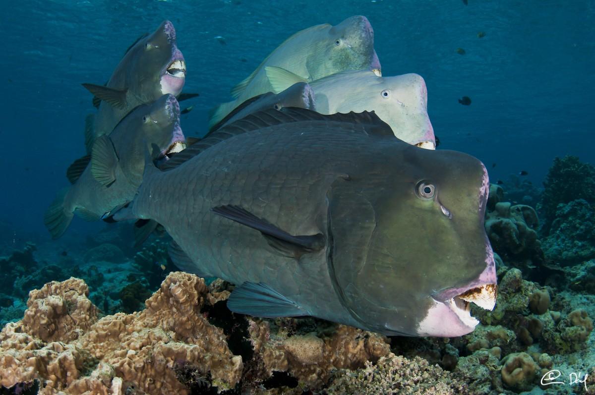Sipadan humphead parrotfish