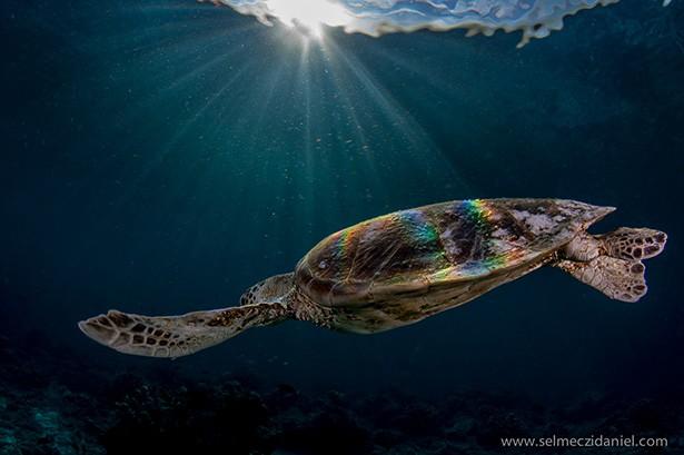 Sipadan teknős