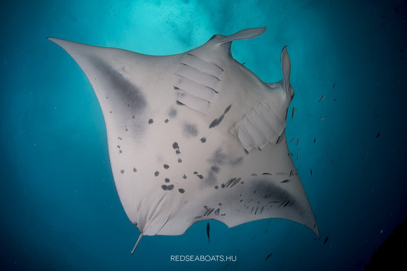 Maldiv Szigetek manta