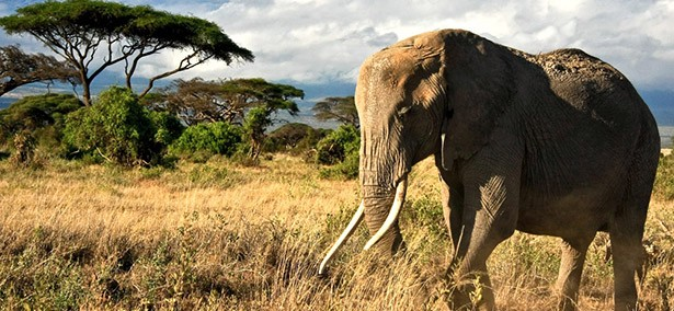 elefant dél afrika